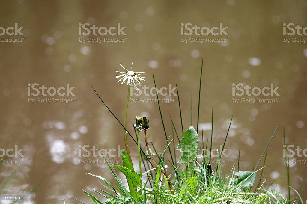 Riverside wildflowers royalty-free stock photo