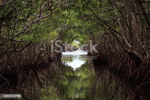 istock Riverway through mangrove trees in the swamp of the everglades 1332029785