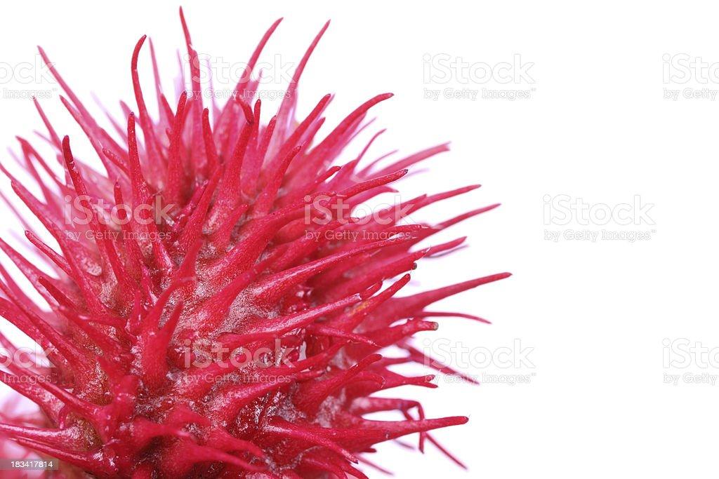 Rizinus Plant stock photo
