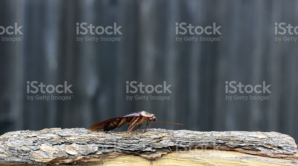Roach by any other name... royalty-free stock photo
