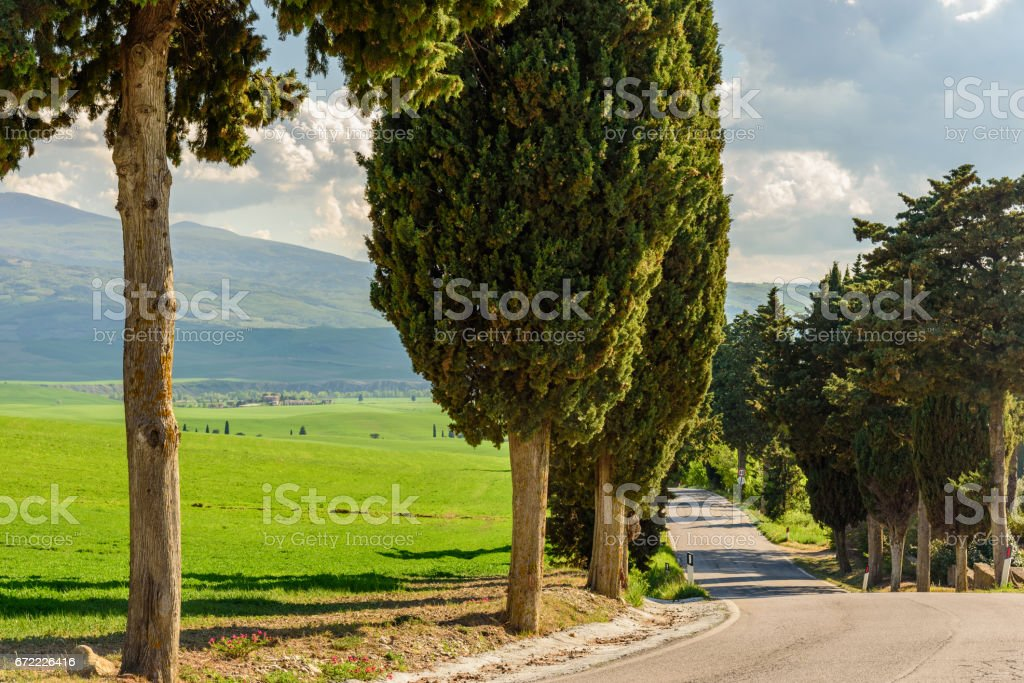 A road amidst cypress trees stock photo