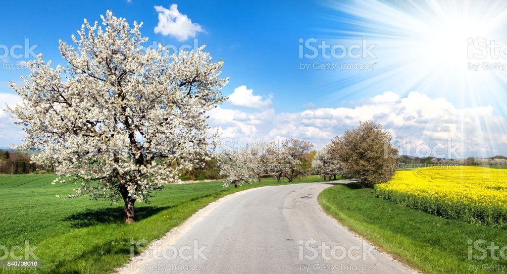 road and alley of flowering cherry-trees stock photo
