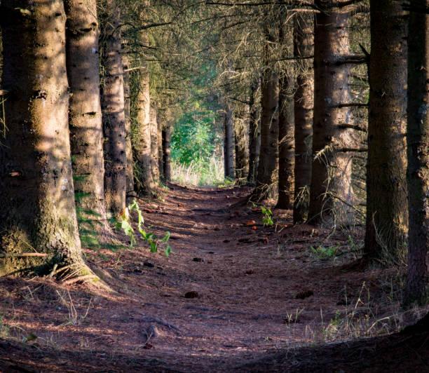 Road between evergreen trees stock photo