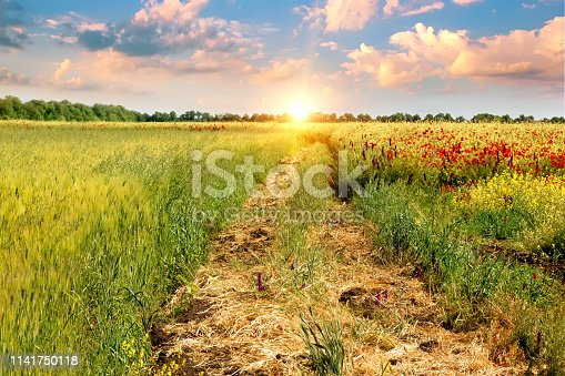 Beautiful landscape field with red wild poppy flowers and a road against blue sky with white clouds.