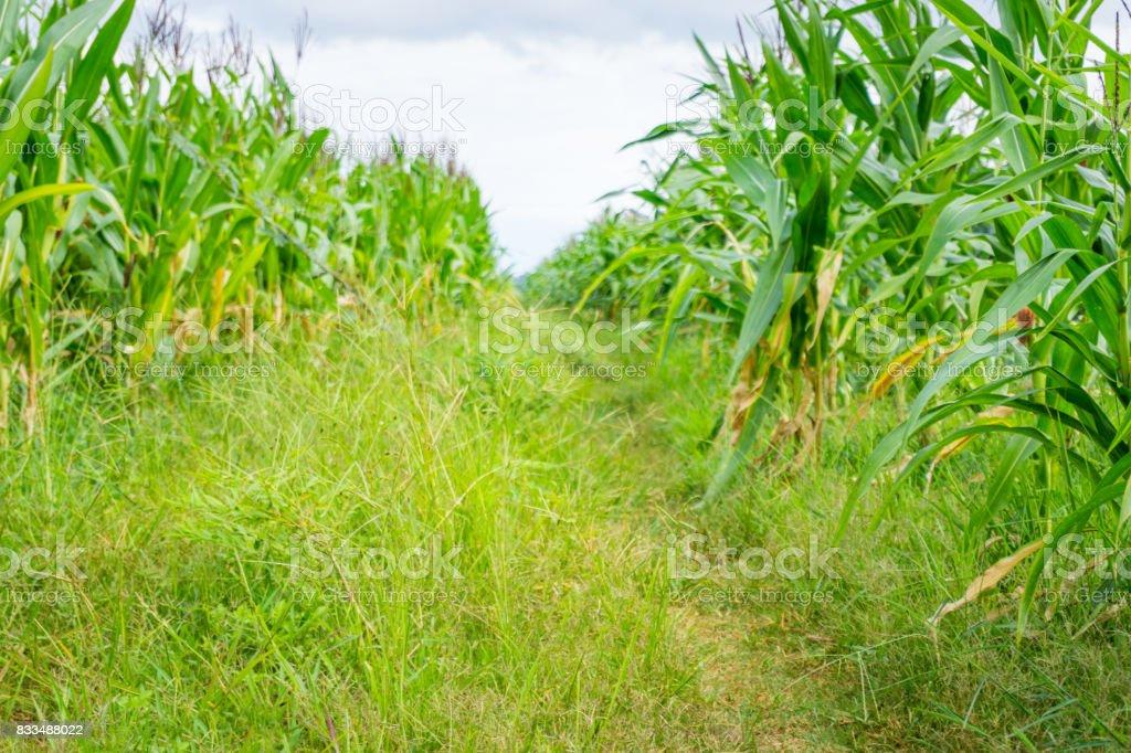 Road into corn field stock photo