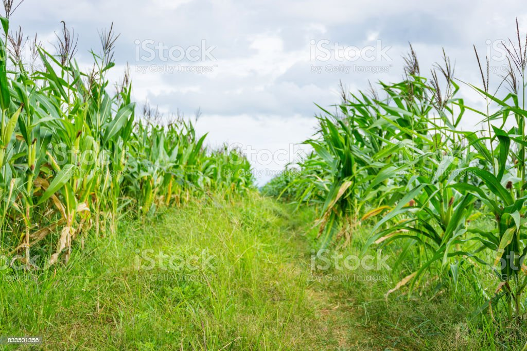 Road into the corn field stock photo