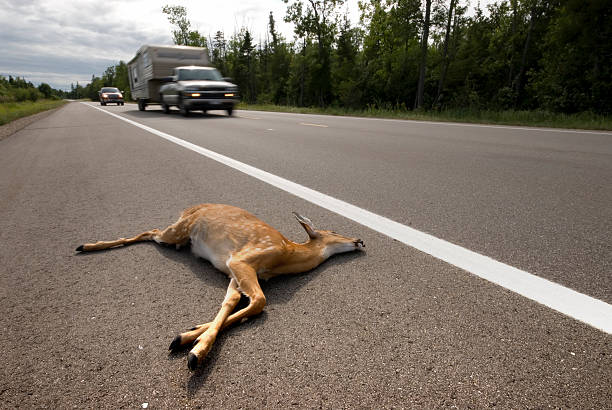 Road matar deer - foto de acervo