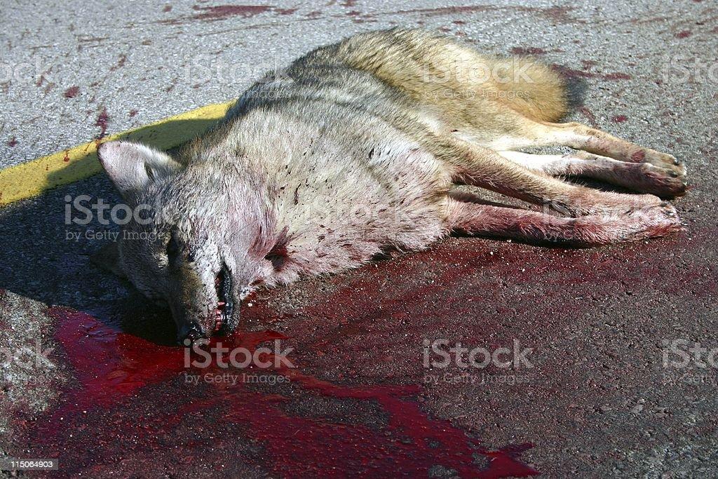 road kill wolf stock photo