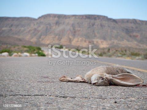 Road killed black tailed jackrabbit (Lepus californicus)