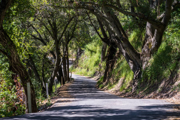 Road lined up with oak trees in Sunol Regional Wilderness, east San Francisco bay area, California Road lined up with oak trees in Sunol Regional Wilderness, east San Francisco bay area, California alameda california stock pictures, royalty-free photos & images