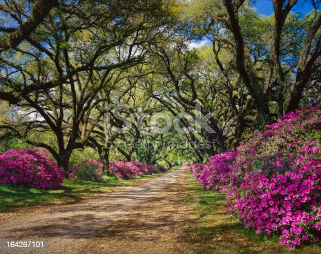 road lined with Azaleas and tree canopy of Live Oaks near St. Francisville; Louisiana