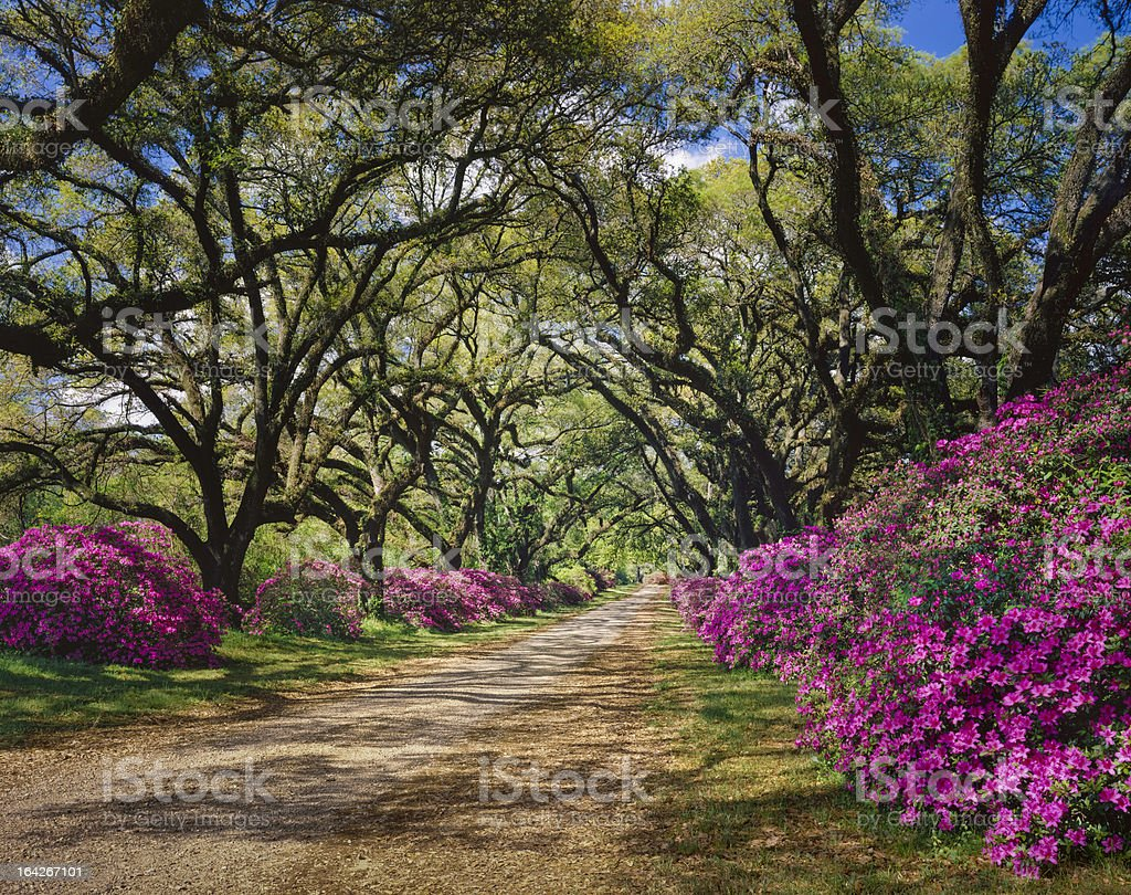 road lined with Azaleas and Live Oak tree canopy, Louisiana stock photo