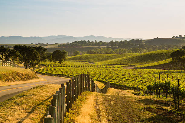Road Next To Lush California Viineyard, Santa Ynez, CA A rustic country road lies next to a lush central california vineyard. santa barbara california stock pictures, royalty-free photos & images