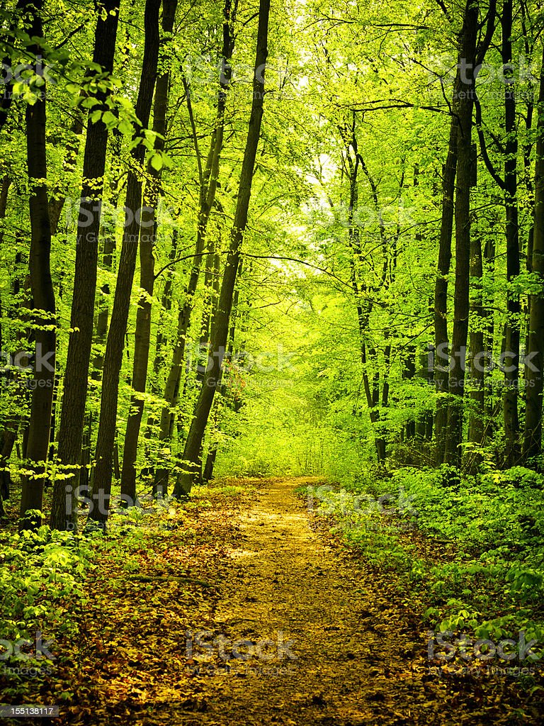 Road through Beech Tree Forest royalty-free stock photo