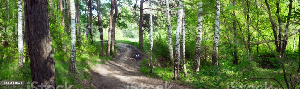 road through birch forest -- summer landscape, banner, panorama - stock photo