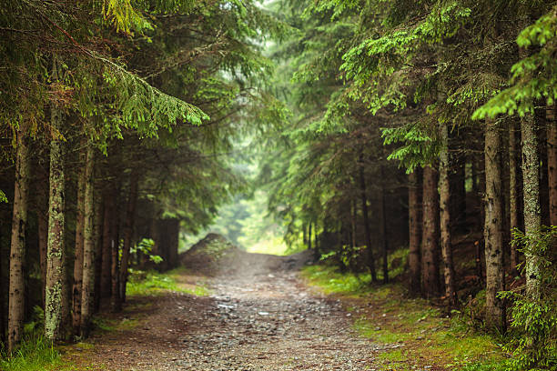 Road through pine forest - foto de stock