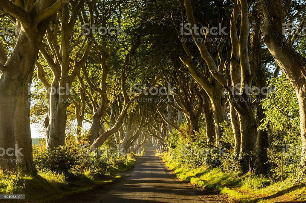 A road through rows of trees at sunrise - foto stock