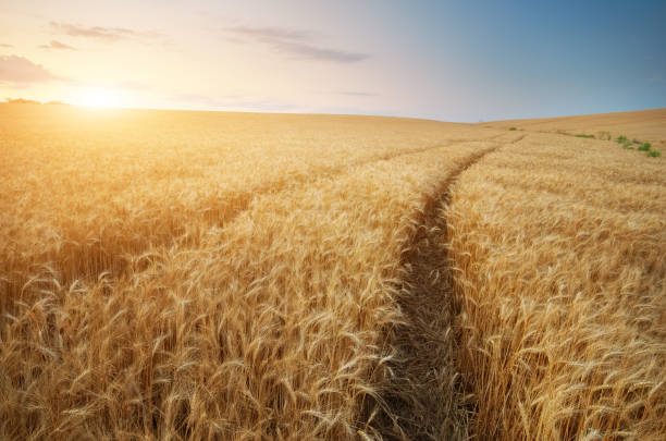 Road through wheat field stock photo