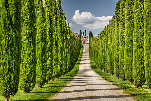 road to agritourism in tuscany between cypresses - cypress tree stock photos and pictures