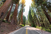 Driving through Avenue of the giants sequoia in Sequoia National Park, Sierra Nevada Mountains, California, USA.