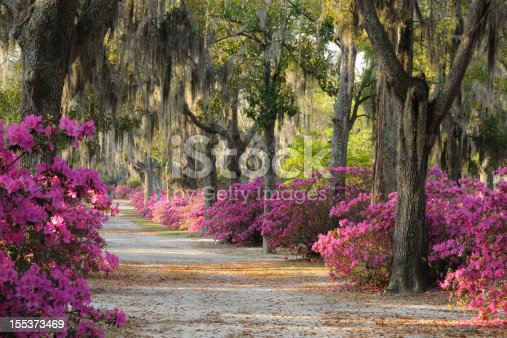 Road at  Bonaventure Cemetery in Savannah lined with Spanish Moss covered Live Oak Trees and Azaleas.