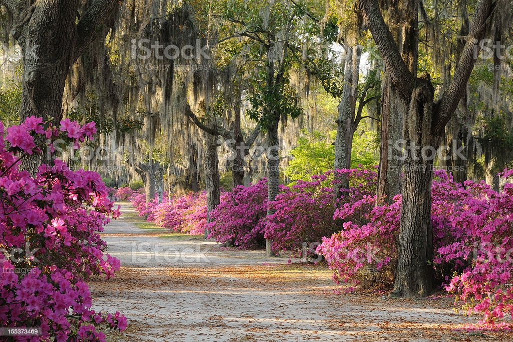 Road with Live Oaks and Azaleas in Savannah stock photo