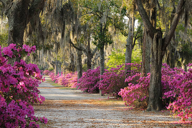 Road with Live Oaks and Azaleas in Savannah