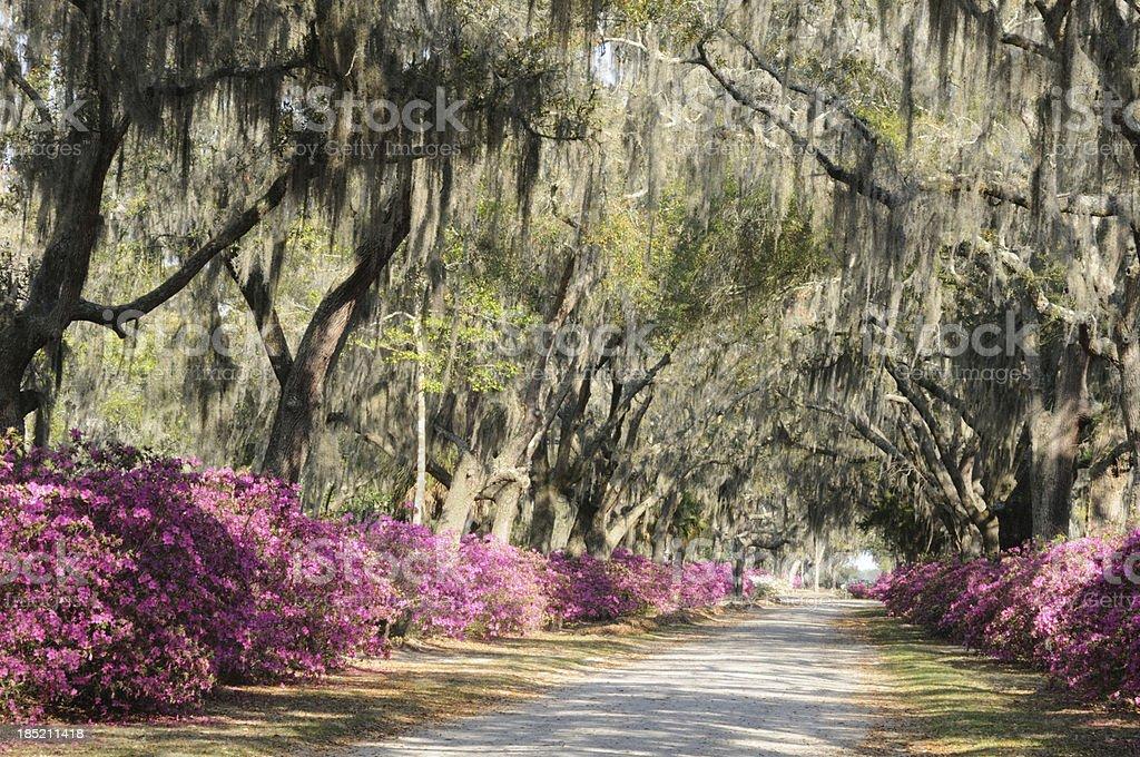 Road with Live Oaks and Azaleas in Savannah stock photo
