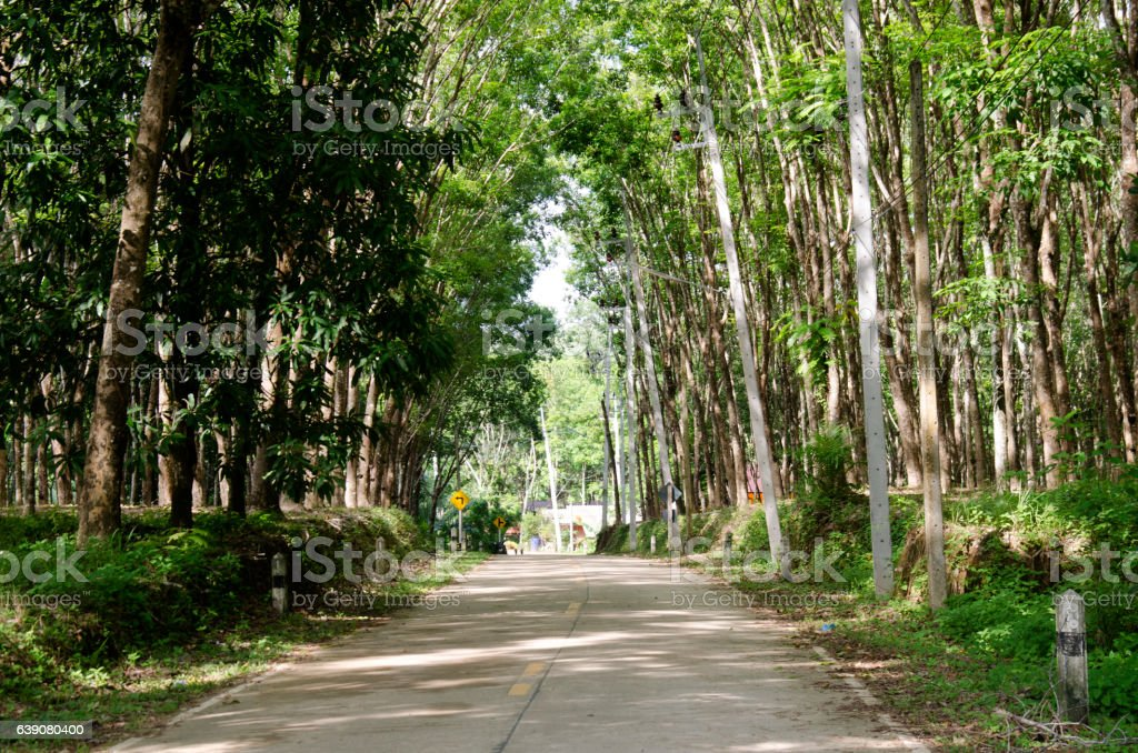 Road with seringueira or rubber tree plantation tunnel stock photo