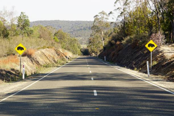 Road with Wombat Crossing Signs on each Side Great Alpine Highway, Victoria, Australia, April 30, 2019. Signs to make drivers doubly aware that wombats may cross the road ahead middle of the road stock pictures, royalty-free photos & images
