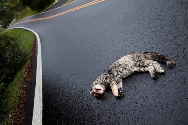 Roadkill Morto-Cat na estrada - foto de acervo