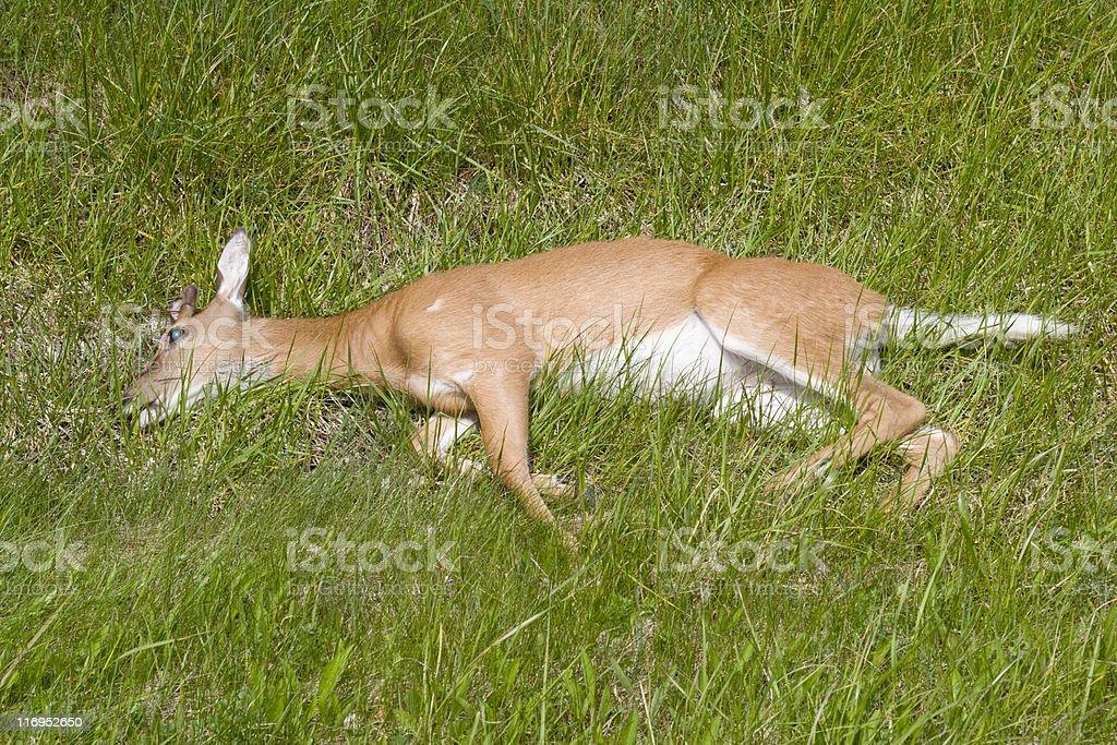 Roadkill - Dead Deer on roadside. royalty-free stock photo