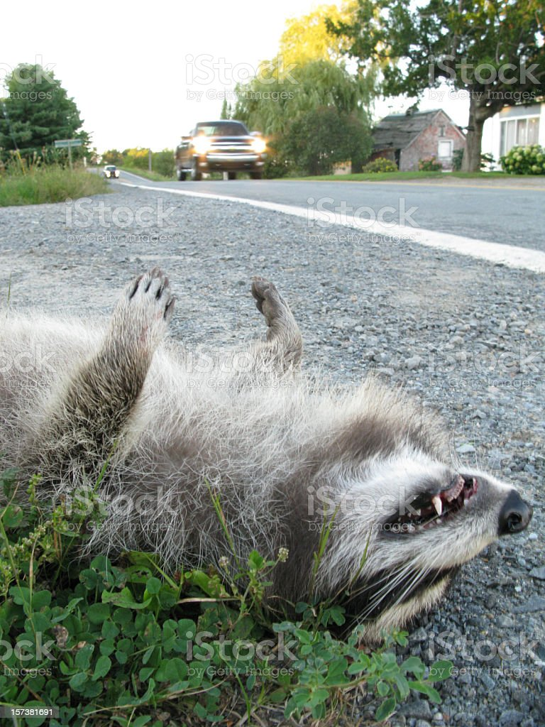 Roadkill, North America. stock photo