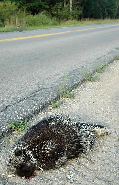 RoadKill stock photo