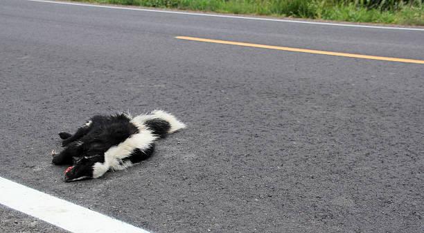 Gambá Roadkill - foto de acervo