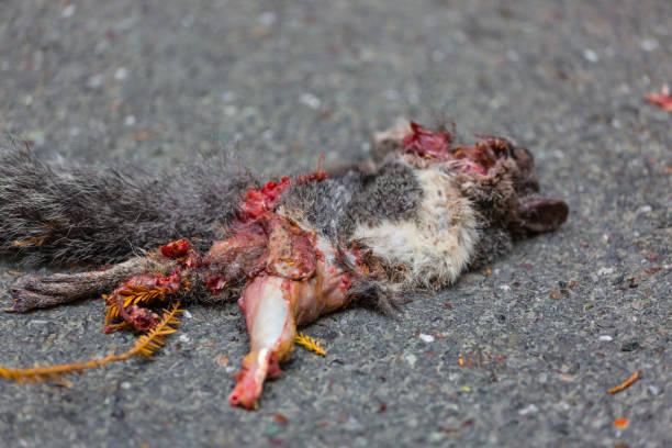 Roadkill esquilo em um asfalto de rodovia - foto de acervo