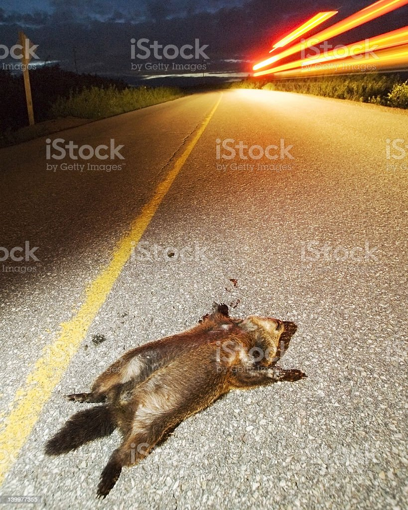 Roadkilled Groundhog stock photo