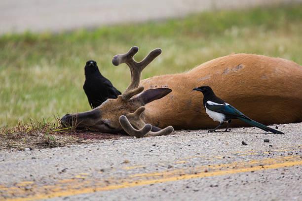 Roadkilled whitetail deer - foto de acervo