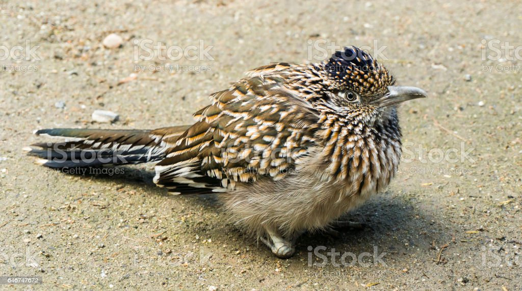 Roadrunner in a cold morning stock photo