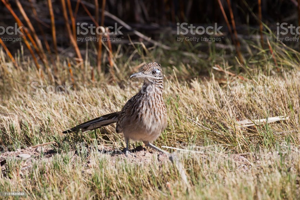 Roadrunner, New Mexico - Royalty-free Animal Stock Photo
