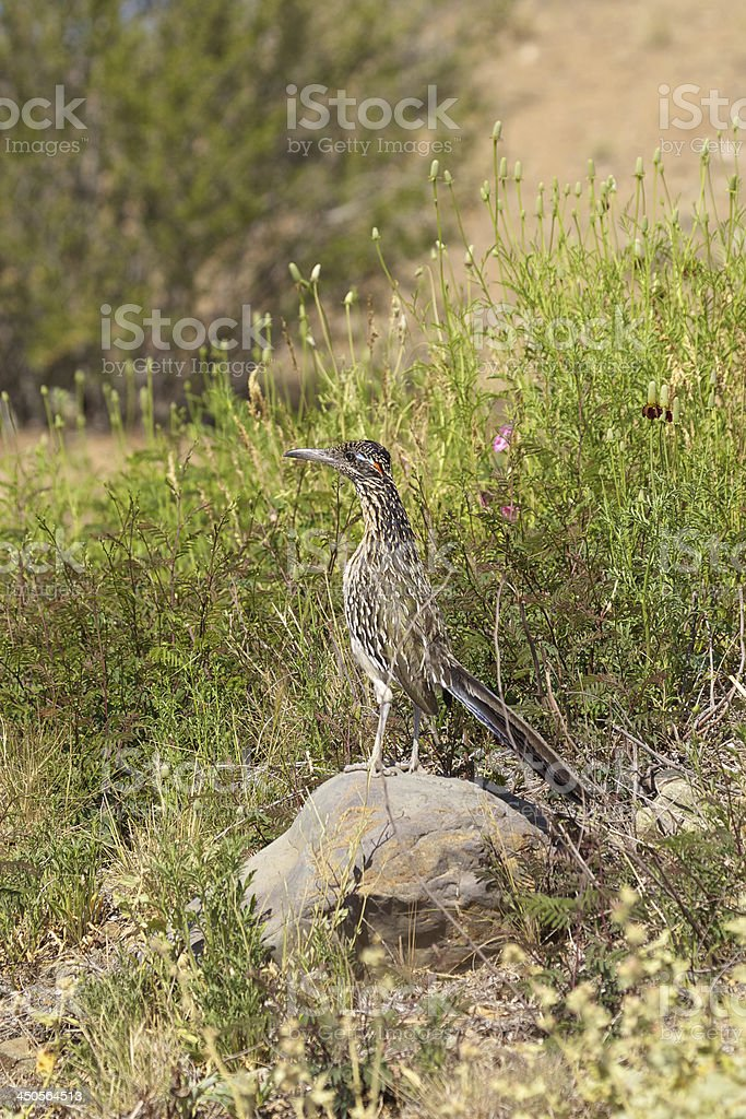 Roadrunner royalty-free stock photo