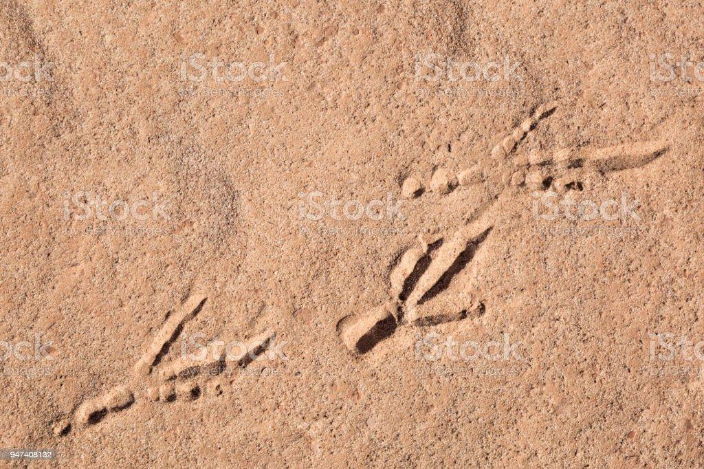 Roadrunner Tracks In Desert stock photo