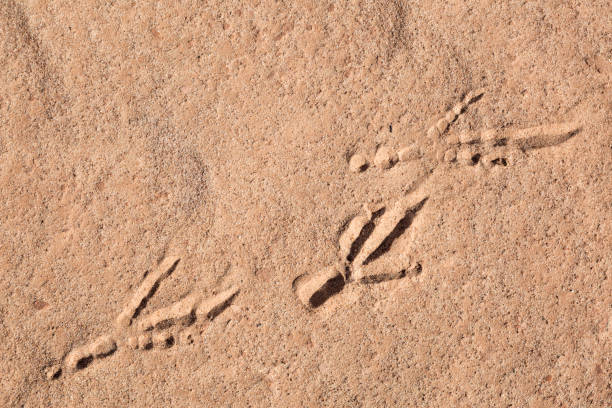 Roadrunner Tracks In Desert stock photo