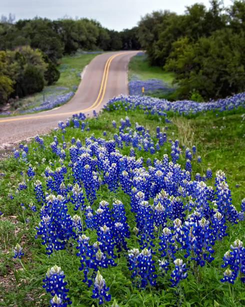 roadside bluebonnets - bluebonnet stock photos and pictures