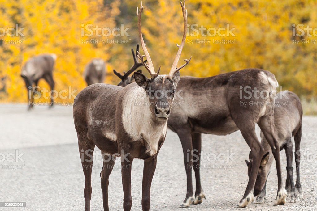 Roadside caribou in Stone Mountain Provicial Park, Canada stock photo