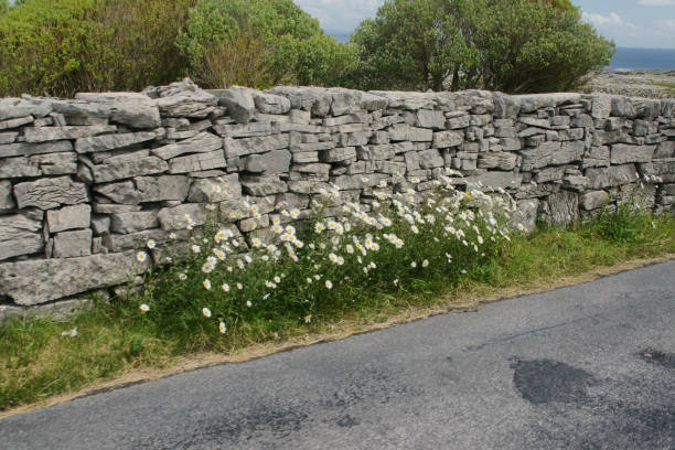 Roadside Daisies against dry stone wall on Cottage Road, Inishmore, Aran Islands Roadside daisies against a dry stone wall on Cottage Road out of Kilronan village, Inishmore, Aran Islands, County Galway, Ireland michael stephen wills aran stock pictures, royalty-free photos & images