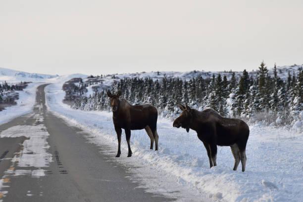 Roadside moose stock photo