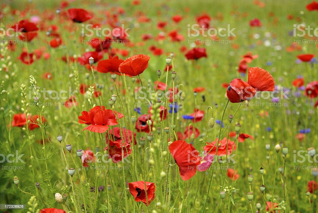 Roadside Poppies royalty-free stock photo