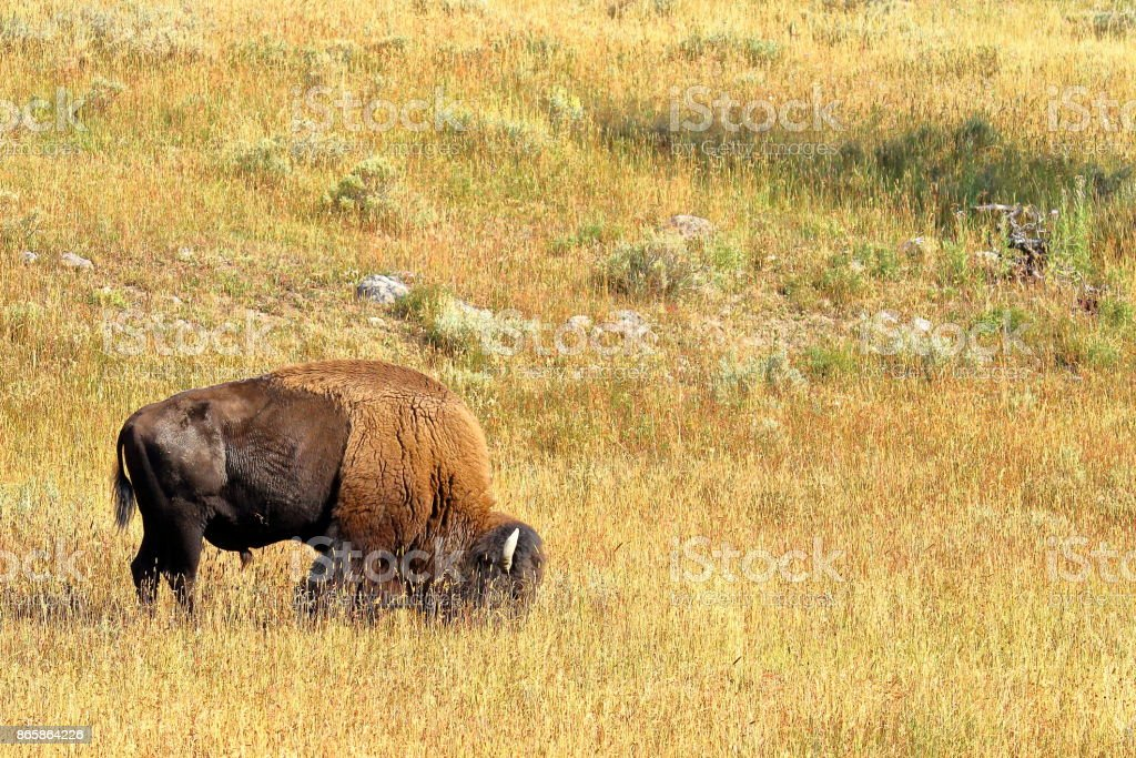 Roaming bison in the open grassland of Yellowstone National Park stock photo