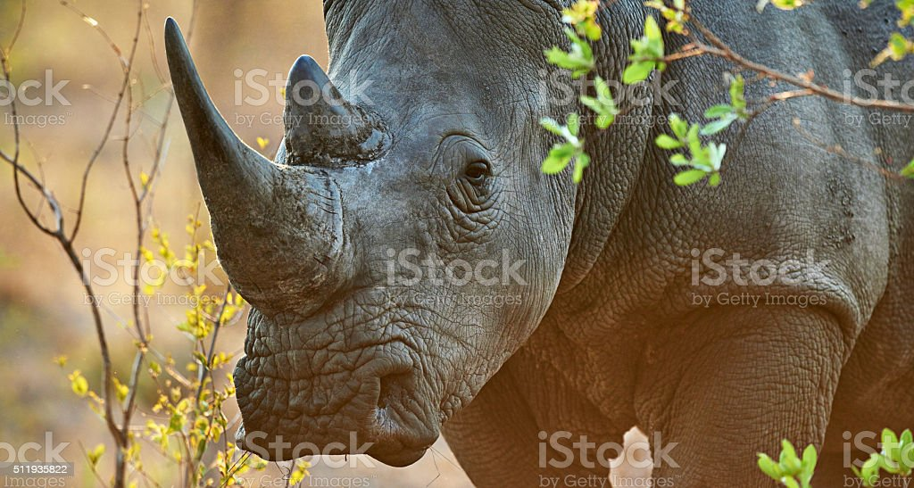 Shot of a rhinoceros in its natural...
